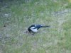 Blackbilled_magpie2