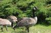 Canada_goose4_2