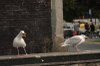 Glaucouswinged_gull