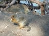 Columbian_ground_squirrel