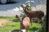 Fallow_deer3