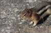 Goldenmantled_ground_squirrel