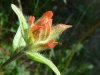 Indian_paint_brush_wild_flower