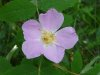 Prickly_rose